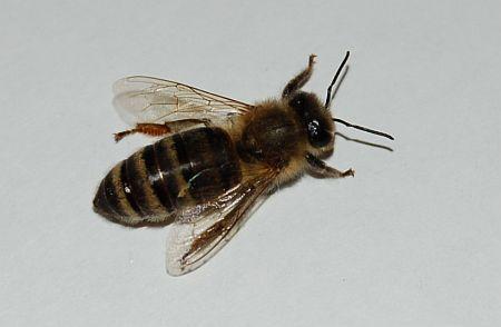 Mehiläinen Pisto
